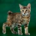 Красивые котята Курильского бобтейла, Новосибирск