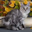 Кошечка Курильского бобтейла, Новосибирск