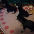 очаровательные щенки той-терьера, Новосибирск