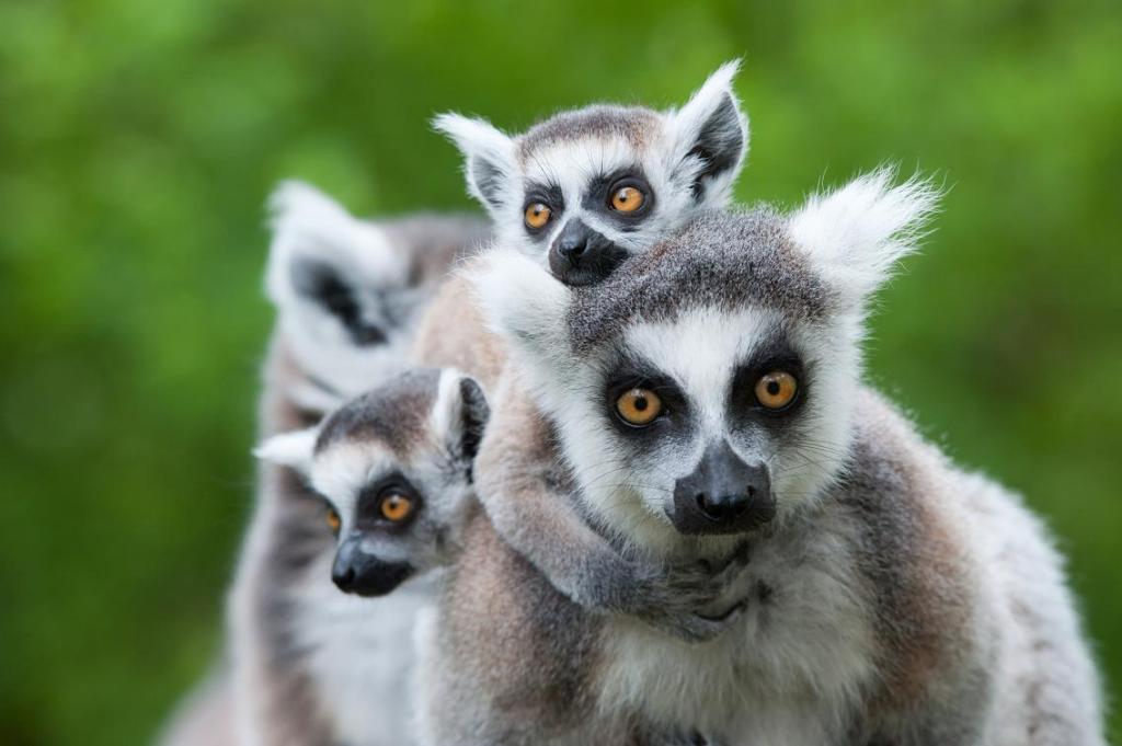 Лемур на Мадагаскаре. Фото:  tonkosti.ru