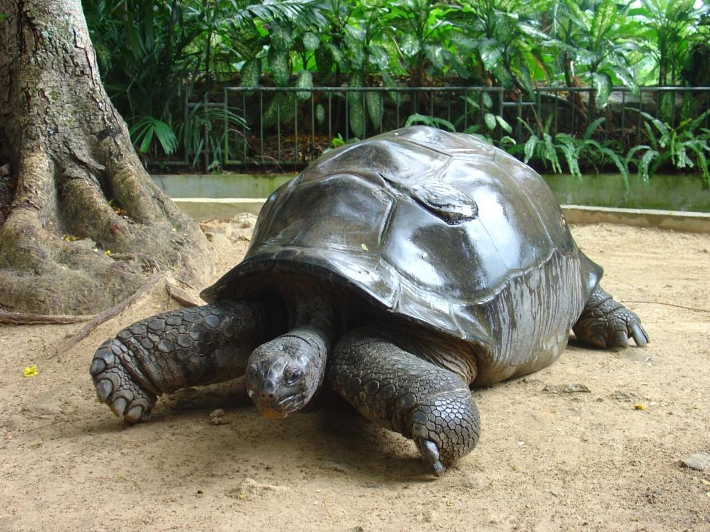 На Сейшелах можно погладить и покормить гигантских черепах. Автор: Camera Eye. Фото:  www.flickr.com