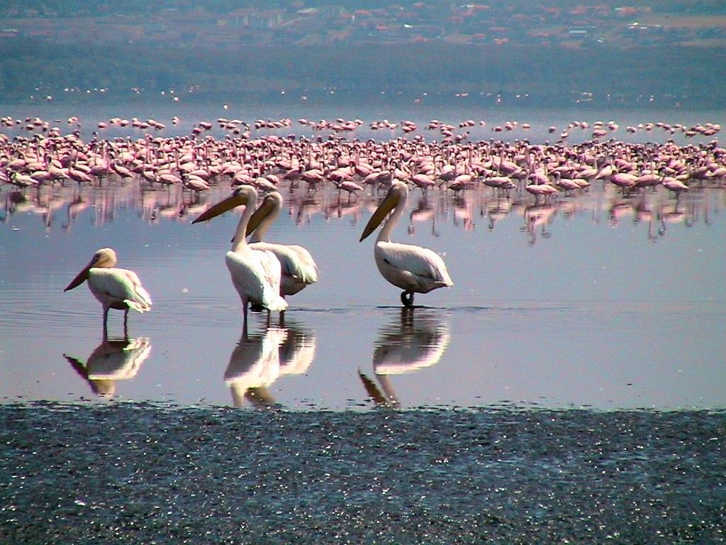 Пеликаны и фламинго на оз. Накуру. Автор: . Фото:  www.flickr.com