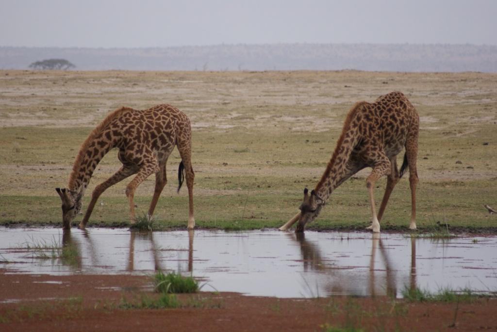 Жирафы, Национальный парк Амбосели. Автор: . Фото:  www.flickr.com