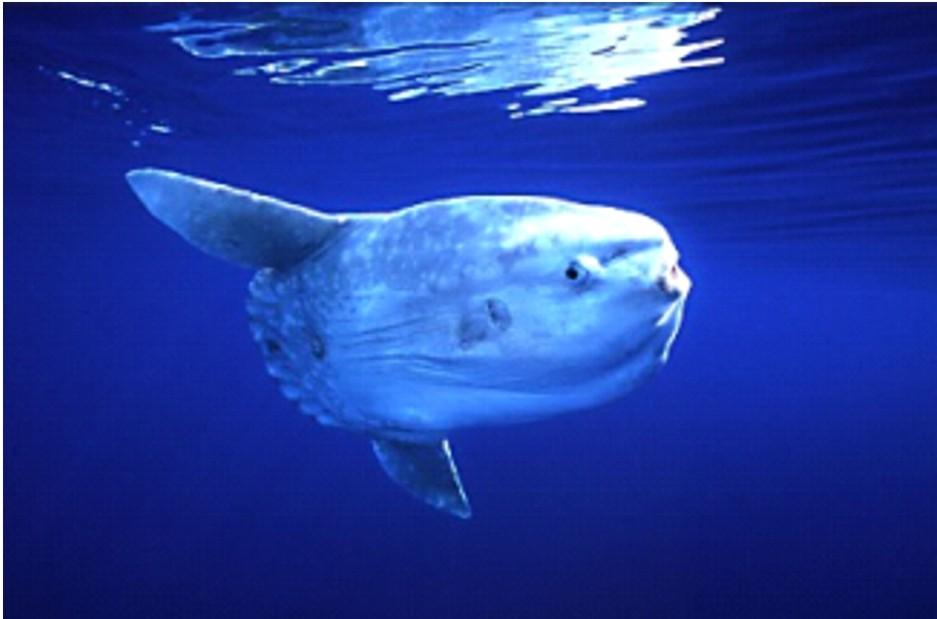 Редкую рыбу-солнце (мола-мола) можно увидеть во время дайвинга на Бали. Фото: diving-bali-safari.com