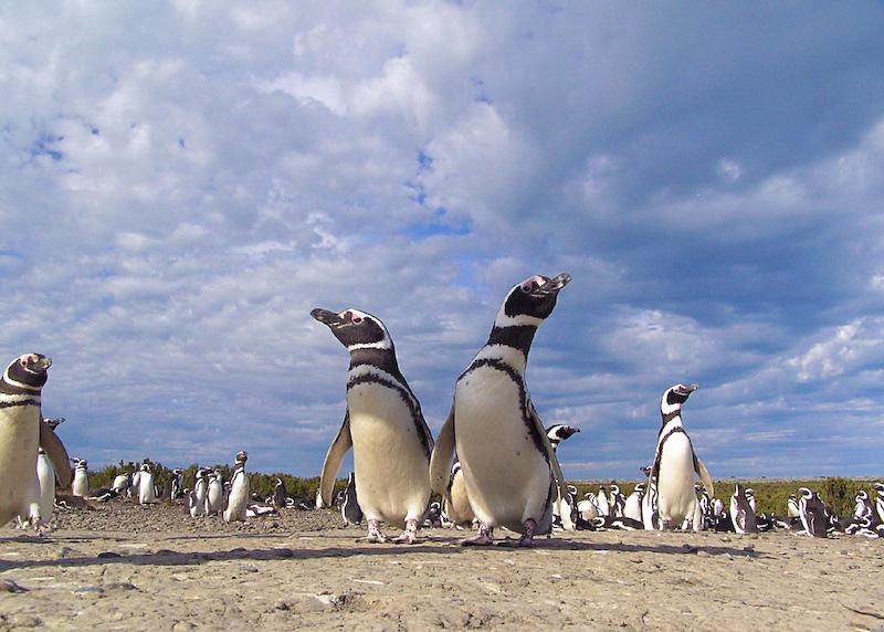 Пингвины на полуострове Вальдес. Фото: travelmuse.com
