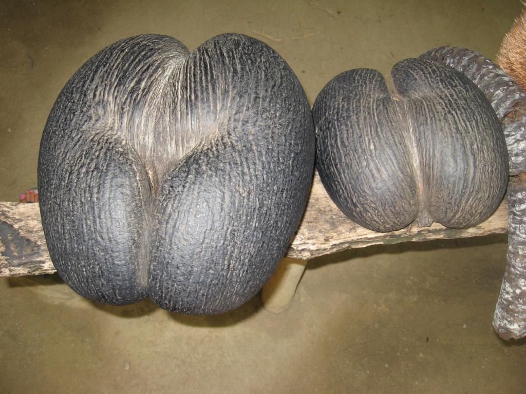 Кокосовый орех, полезен многими свойствами. Автор: ReservasdeCoches.com. Фото:  www.flickr.com