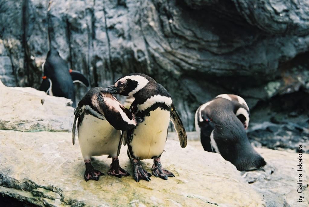 Пингвины в Лиссабонском океанариуме. Фото с сайта  tonkosti.ru
