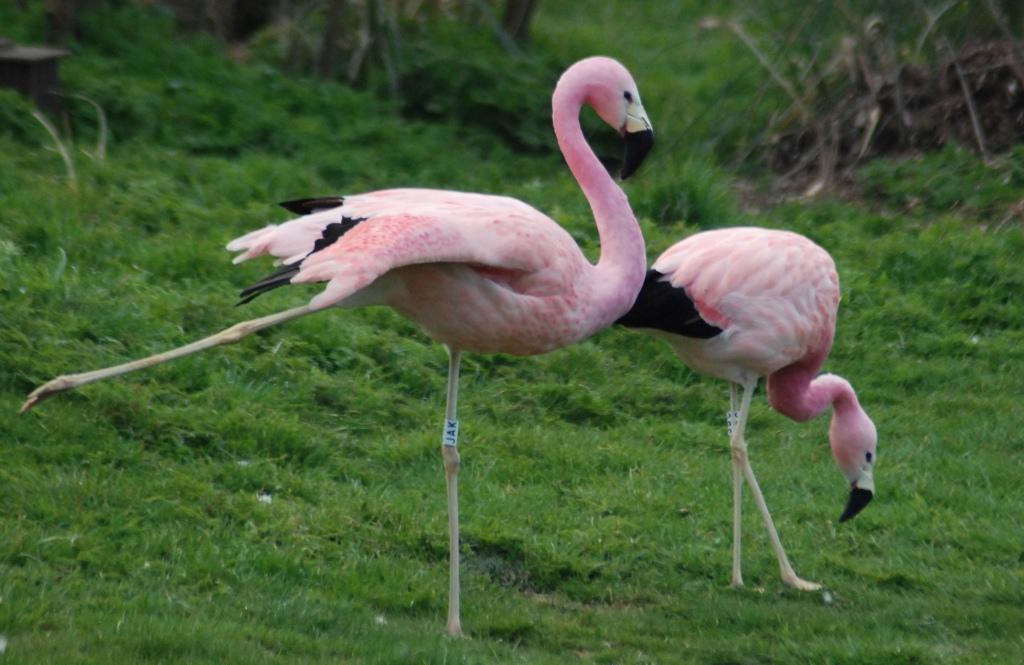 Розовые фламинго. Автор: Rob_moments. Фото:  www.flickr.com