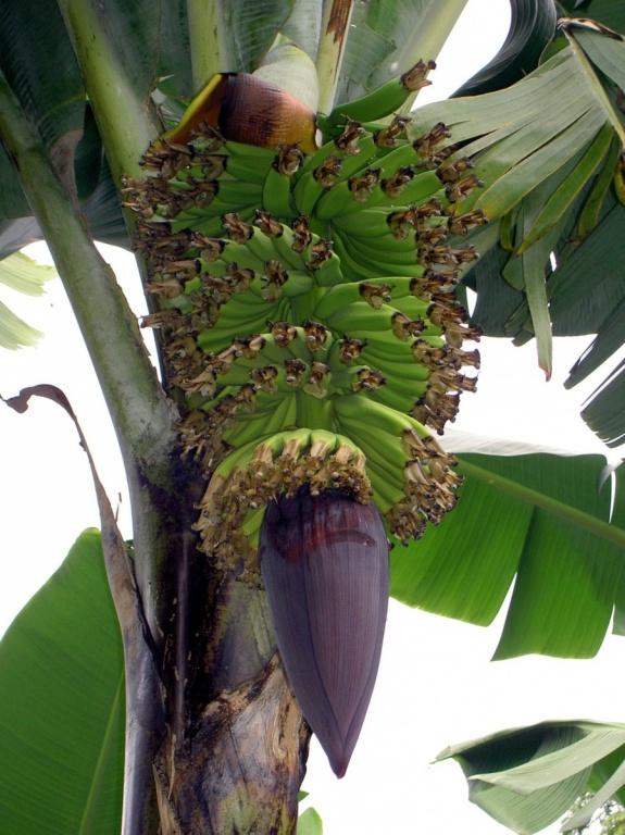 Банановое дерево. Автор: Крис 73. Фото:  commons.wikimedia.org