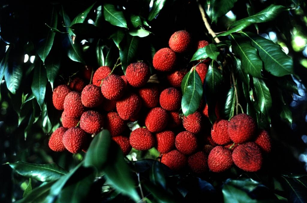 Плоды личи (личжи). Фото: wikimedia.org