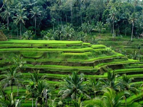 Рисовые террасы. Фото: indonesianembassy.org.uk