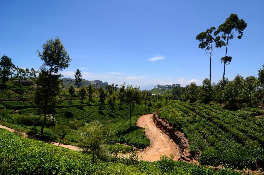 Чайные плантации. Автор: Fivaz. Фото:  www.flickr.com
