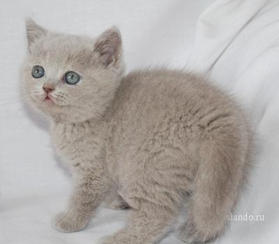 Британские котята, яркие оранжевые глаза.  100% британская родословная...