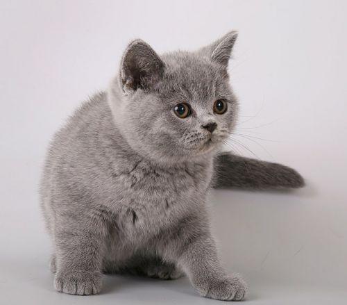 Опубликовать свое объявление о животных.  Перейти к объявлению ''Британские котята из питомника британских кошек.