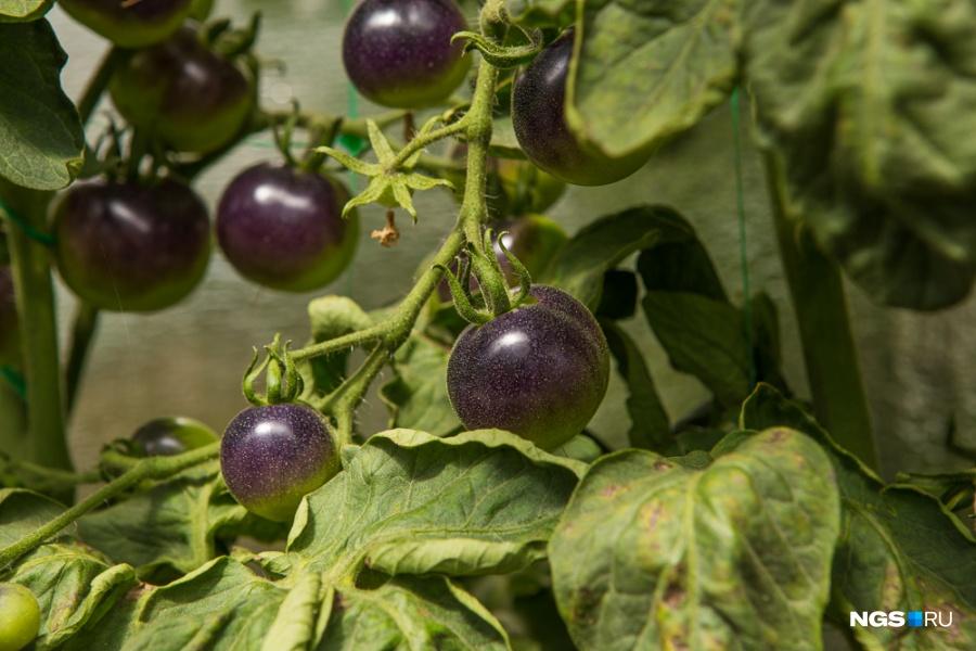 В энергоэффективной теплице, где соорудили форточку, открывающуюся мотором, чтобы не перегревать растения, выращивают не только обычные, но и черные помидоры.