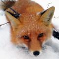 Лисёнок Инти живёт недалеко от Пашино
