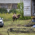 Сейчас животных выгуливают во дворах многоэтажек
