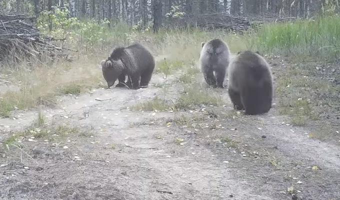 Медвежата из зоопарка «Мишутка» нашли в Керженском заповеднике приёмную маму. Теперь у неё 5 детей