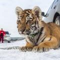 Хонде 2,5 месяца, она попала к дрессировщику из зоопарка города Уфы