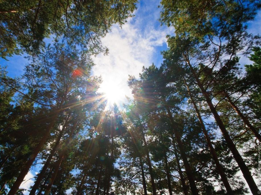 «Анашенский бор», сосны тянутся вверх к солнцу.   Фото: Сергей Филинин
