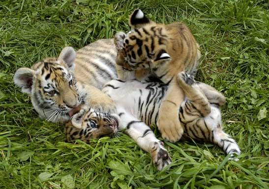 Тигрята   www.roev.ru