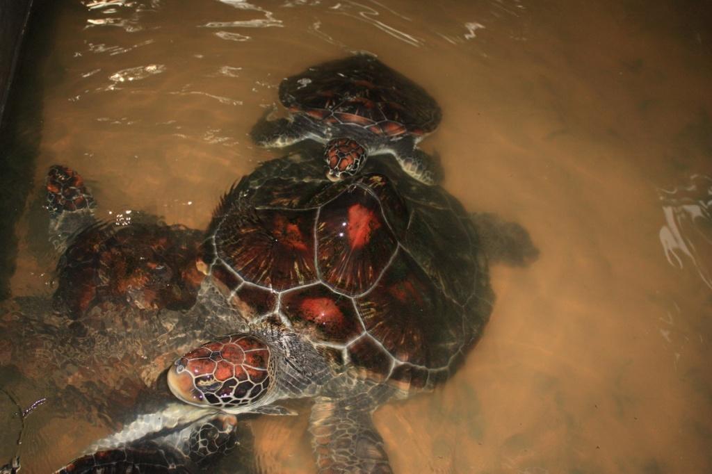 Черепахи с увечьями. Фото:  shrilankablog.ru