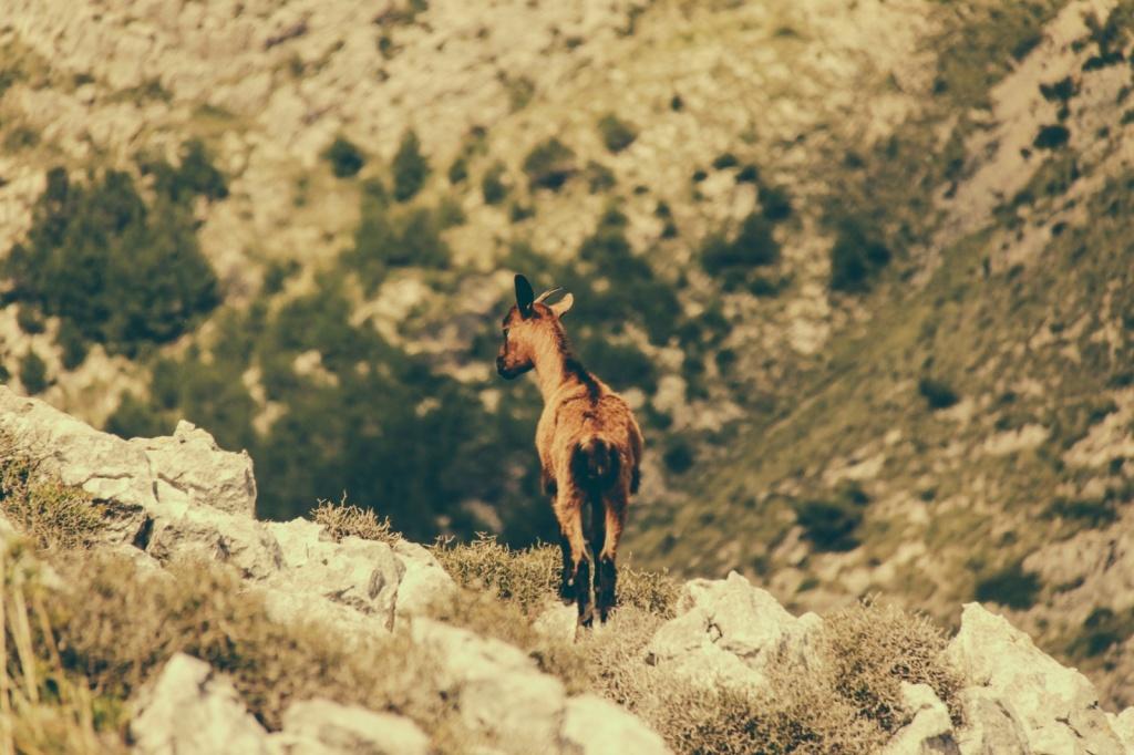 Горный козел. Автор: Cristian Bortes. Фото:  www.flickr.com