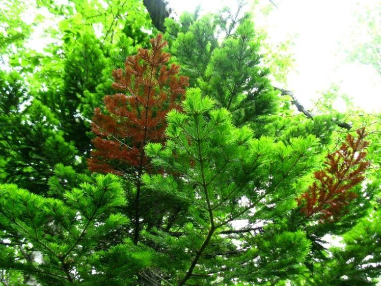 «Роща пихты грациозной». Крона молодого дерева.  Фото: Хакимулина Татьяна Вакифовна   www.plantarium.ru