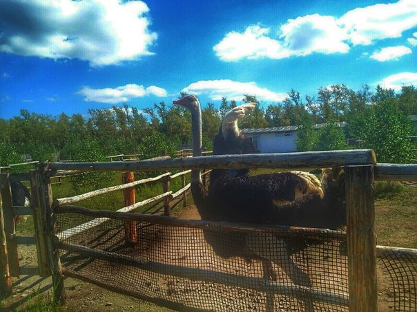 Страусиная ферма не далеко от комплекса