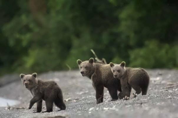 Медвежата на озере   www.kavgs.ru