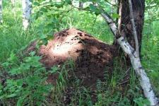 Березово-муравьиная роща