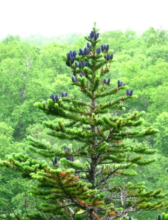Верхушка дерева с шишками.  Фото: Хакимулина Татьяна Вакифовна   www.plantarium.ru