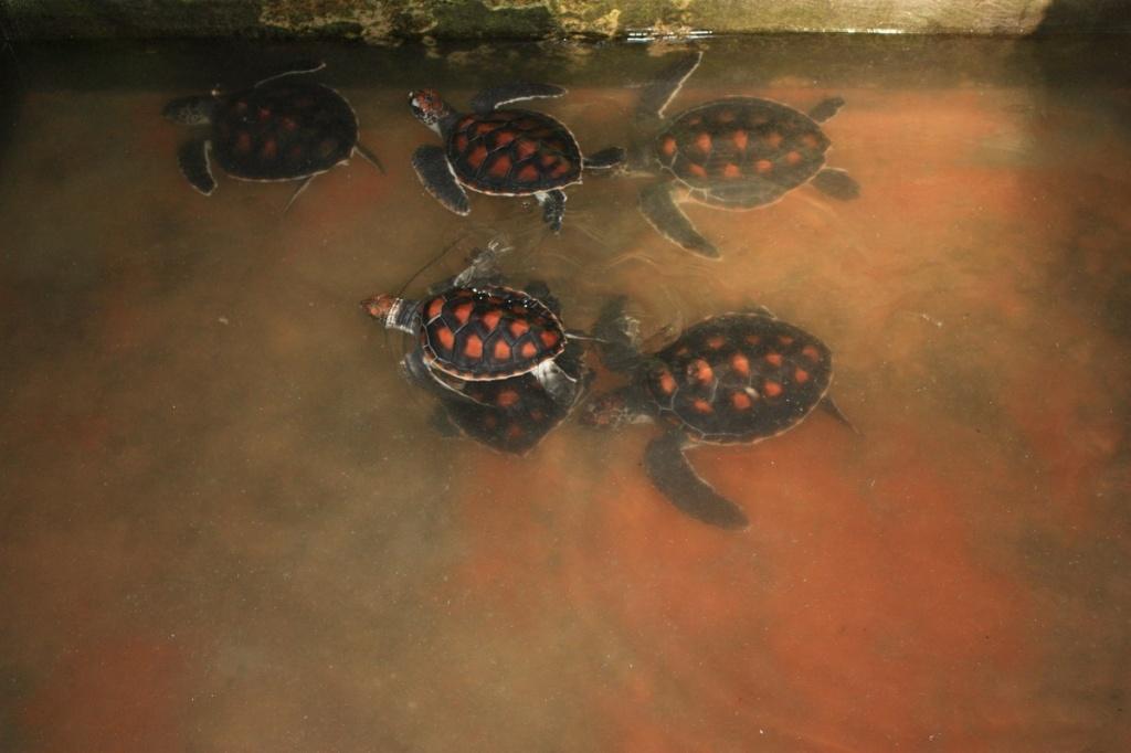 Особи 5-7 месяцев. Фото:  shrilankablog.ru
