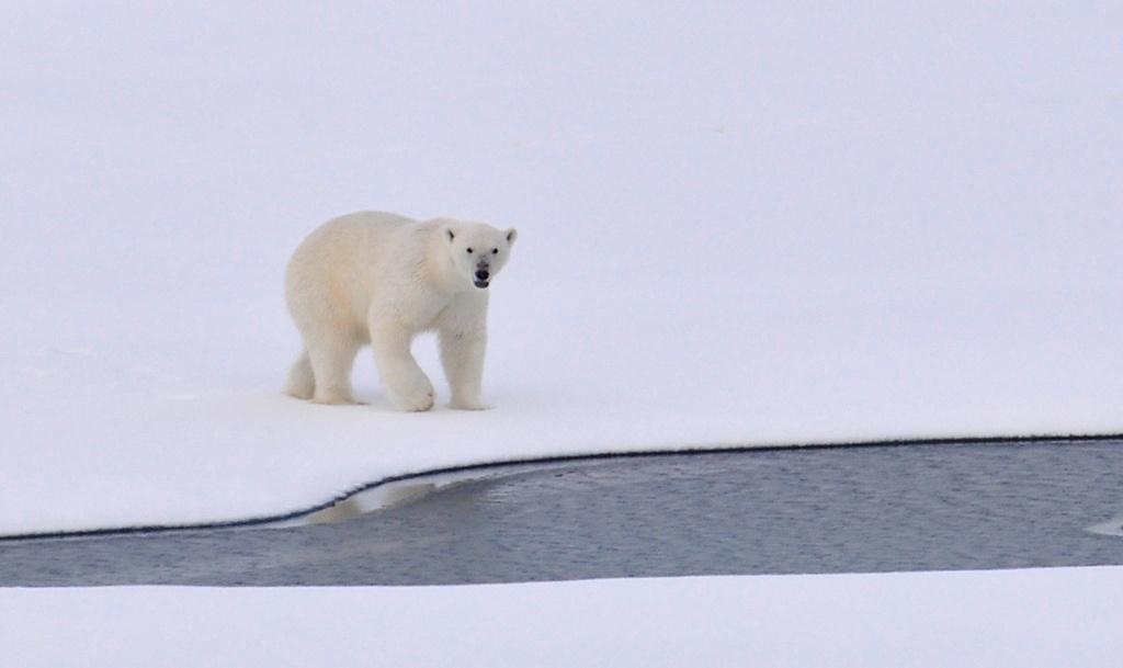Белый медведь. Автор: U.S. Geological Survey. Фото:  www.flickr.com