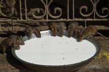 Храм крысы Шри Карни Мата