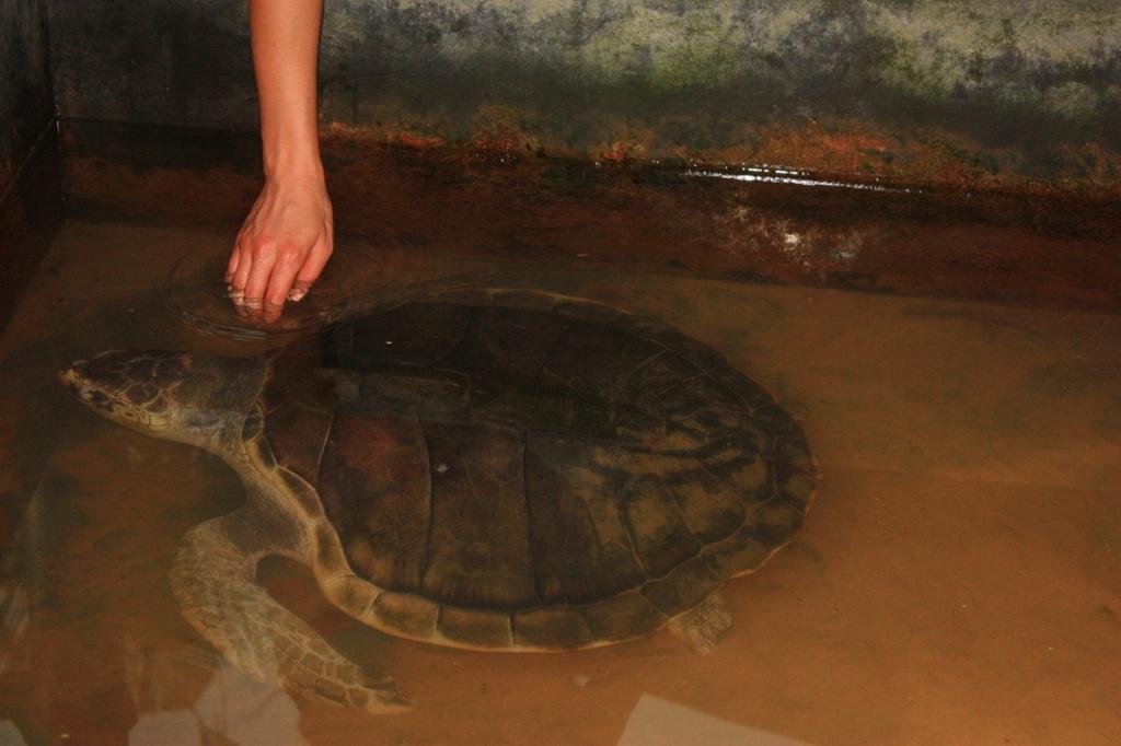 Взрослая особь. Фото:  shrilankablog.ru
