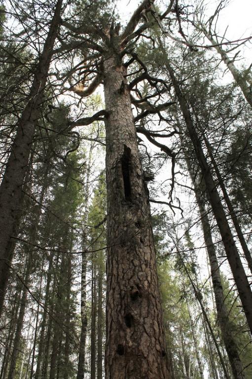 Борть — дуплястое дерево, в котором водились пчелы. По выемкам в стволе бортник забирался наверх, чтобы забрать мед
