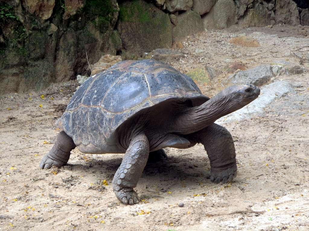 Гигантские черепахи - настоящий символ островов. Автор: D-Stanley. Фото:  www.flickr.com
