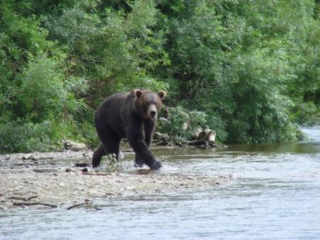 Бурый медведь на реке   kolriver.ru