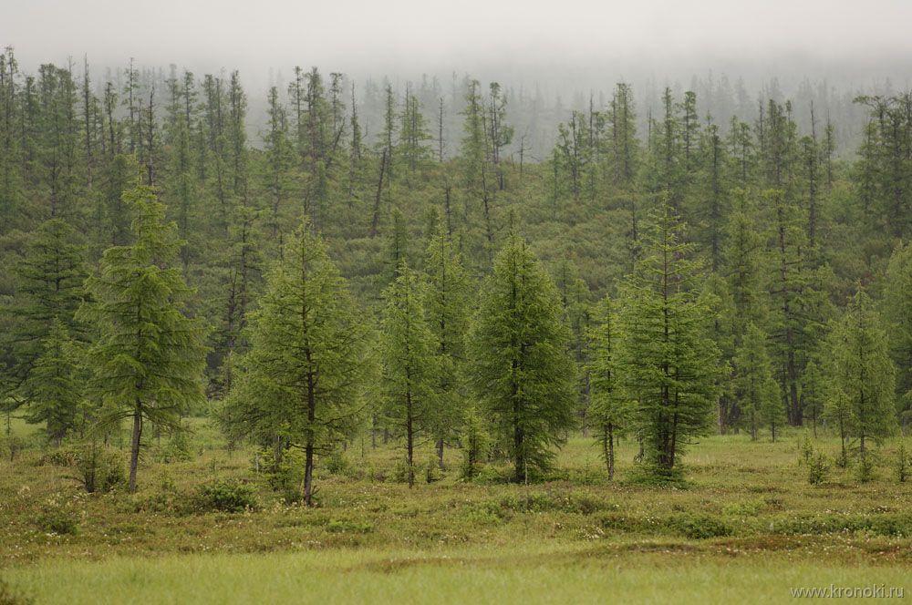 Лиственничный лес в бассейне Кроноцкого озераФото: Шпиленок И., www.kronoki.ru