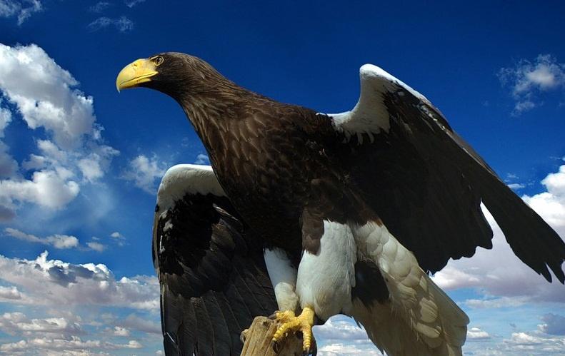 Белоплечий орлан. Фото: www.zaecomir.ru