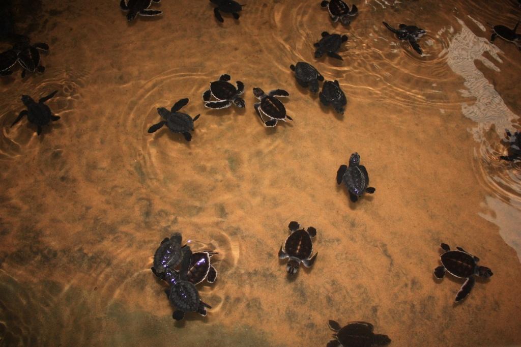 Новорожденные черепашки. Фото:  shrilankablog.ru