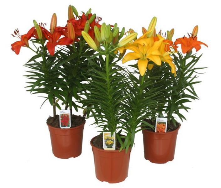 Комнатные цветы воронеж купить