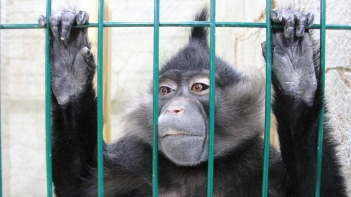 Обезьяна укусила человека: в Архангельске возбуждено уголовное дело после травмы в выездном зоопарке