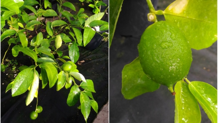 Первых плодов ждали пять лет: в ботаническом саду Пермского университета созрел лайм