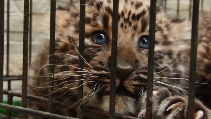 В Самаре у леопардов Хана и Фелиции опять родились котята