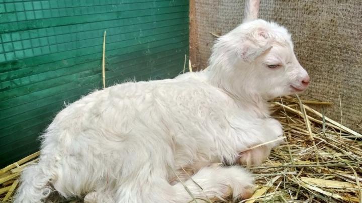 Дочку самарской козы-оракула назвали Футболина