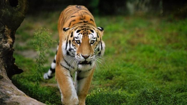 Дальнобойщик попытался незаконно провезти  в Ростовскую область тигров из Украины