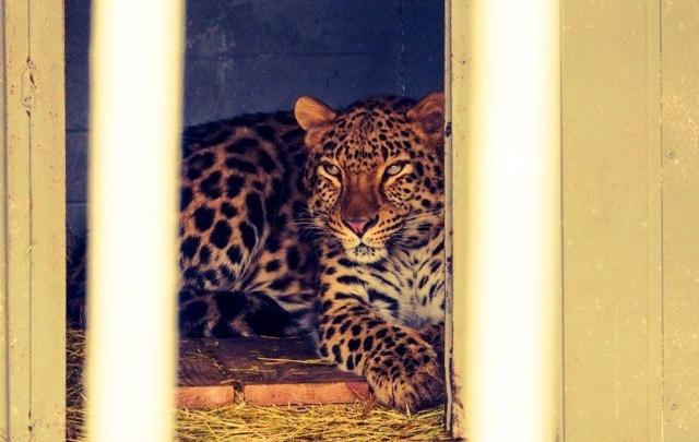 Питомцев тюменского зоопарка подготовили к зимовке: в будках хищников появился пол с подогревом