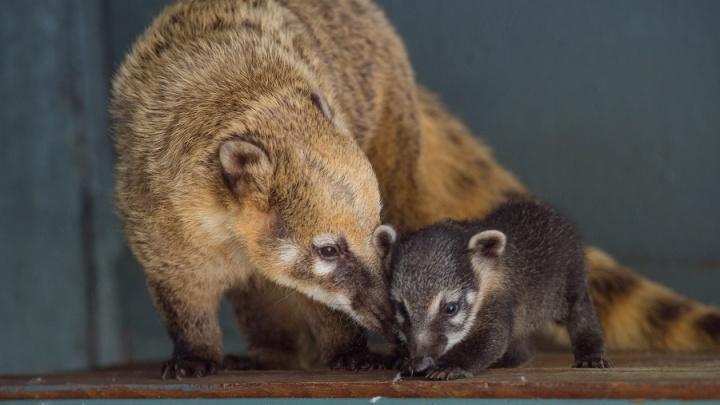 Детеныш носухи родился в ростовском зоопарке
